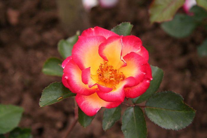 Betty Boop Rose